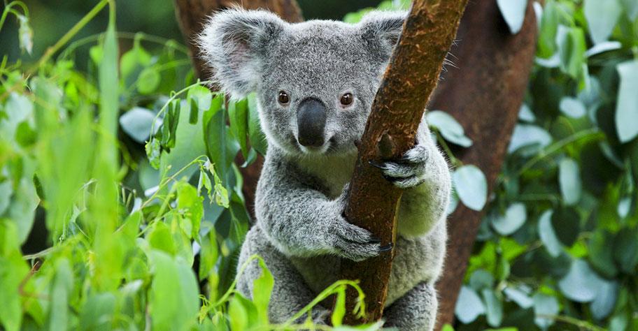 Flitterwochen Australien Koalabären
